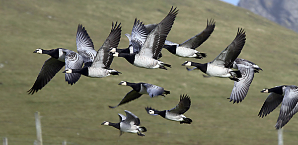 Flock of Greenland Barnacle Geese flying.